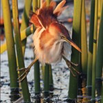 Least Bittern at sunset