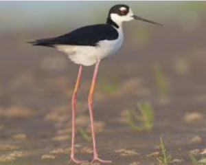 Black-necked Stilt (Himantopus mexicanus)