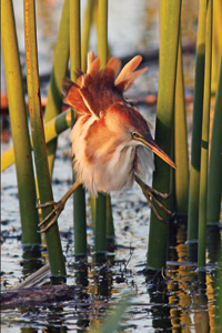 Least Bittern over water at sunset image