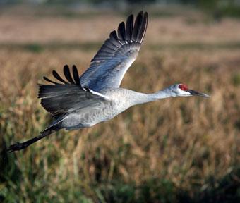 Sandhill crane image