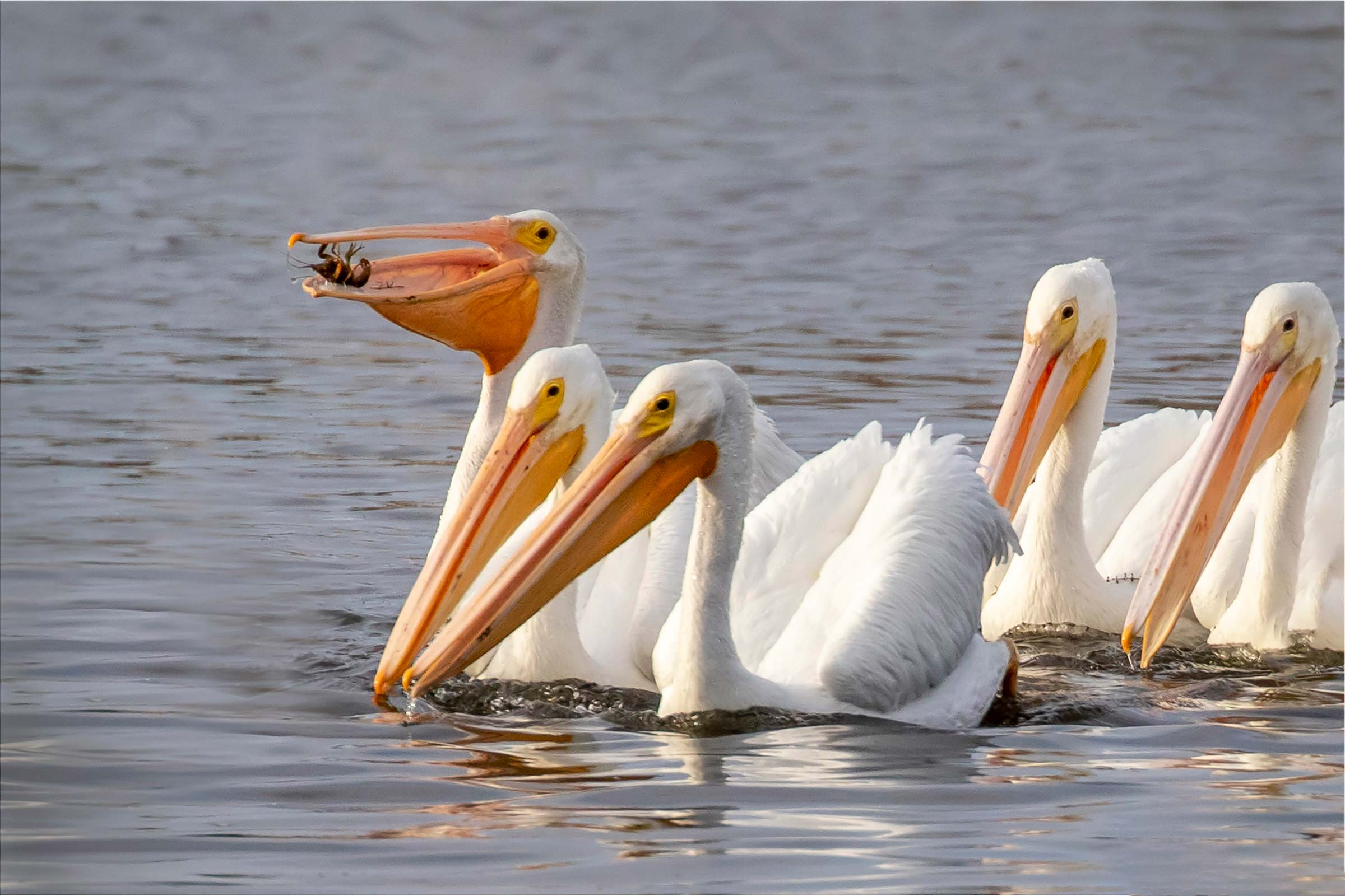 Group of pelicans in water image